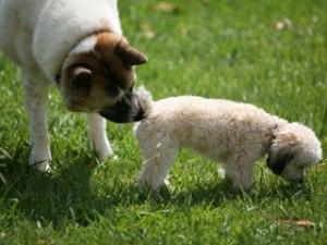 Dog sniffing while walking, Austin, TX