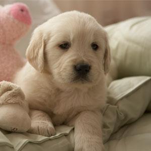 Austin Lab Puppy