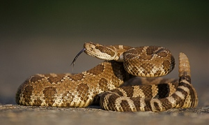 Western Rattlesnake is one of the most common in Austin, TX.